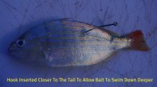 rigging pinfish through the back to catch many inshore and offshore species