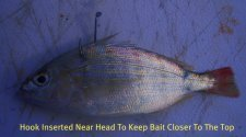rig a pinfish in the back for many inshore and offshore species