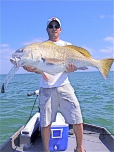 fort desoto Florida school of black drum caught using a gulp shrimp