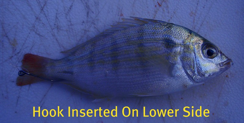 how to rig a pinfish through the tail