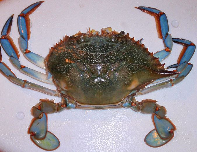 Blue_Crab_ready_to_be_rigged
