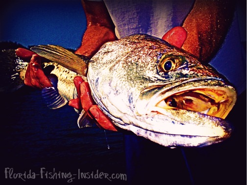 Tampa_Bay_Fisheries_have_great_trout_fishing._This_trout_was_caught_near_doublebranch_in_upper_tampa_bay