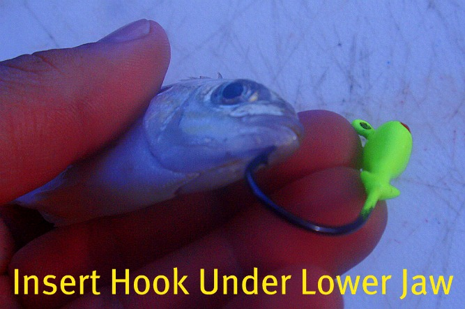 pinfish and jighead inserting the hook through the lower jaw of the pinfish to catch snook, redfish, and trout
