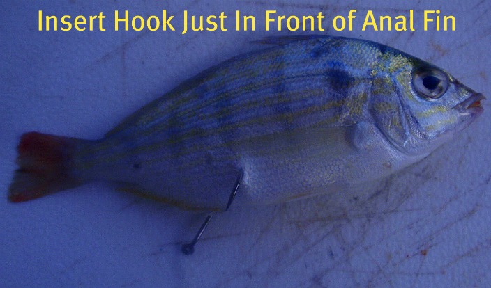 rig a pinfish through the belly for erratic movement to draw in the big fish