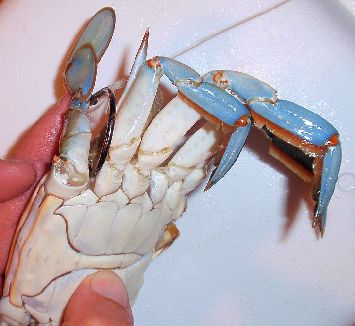 How_to_rig_a_blue_crab
